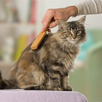 brushing-longhaired-cat
