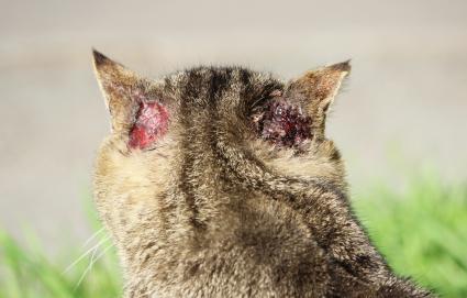 cat ear mange