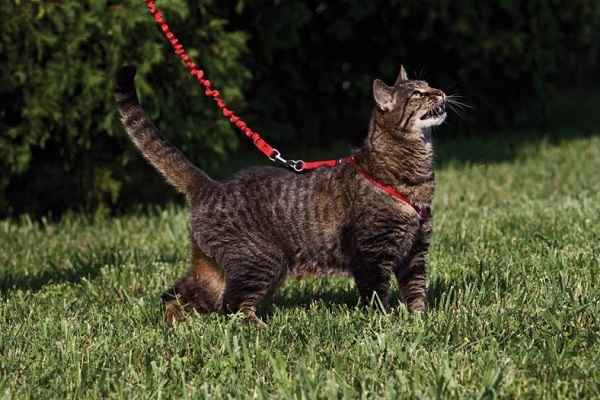 Cat Walking With Harness