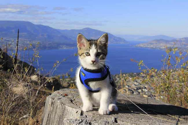 How to Put on a Cat Harness